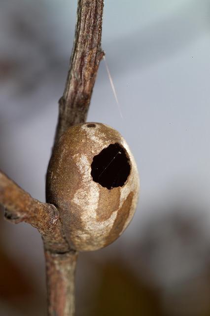 イラガセイボウが羽化した後のイラガの繭