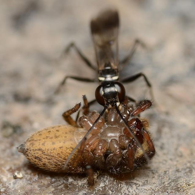 クモバチの一種