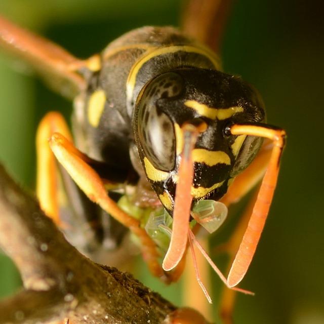 イネホソミドリカスミカメを捕まえたフタモンアシナガバチ