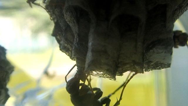 セグロアシナガバチの給餌