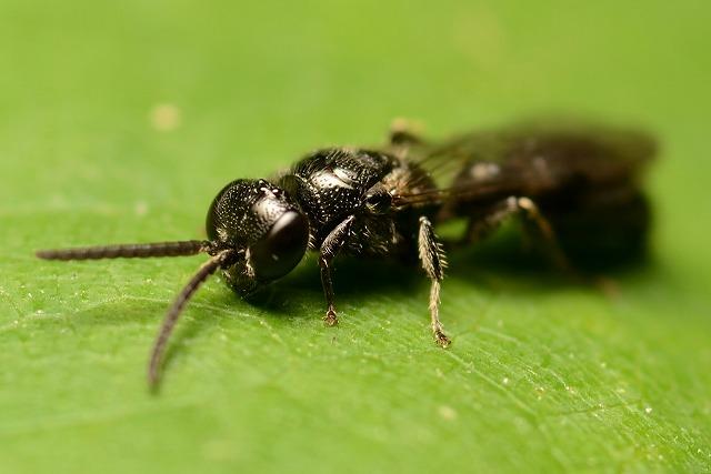 コツチバチの一種
