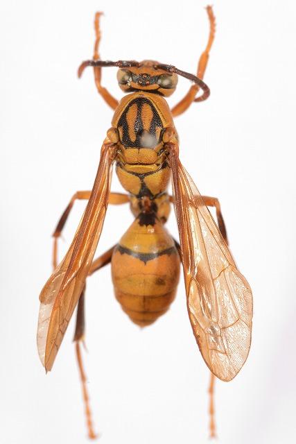 タイワンアシナガバチ