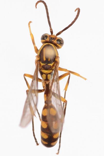 ヒメホソアシナガバチ