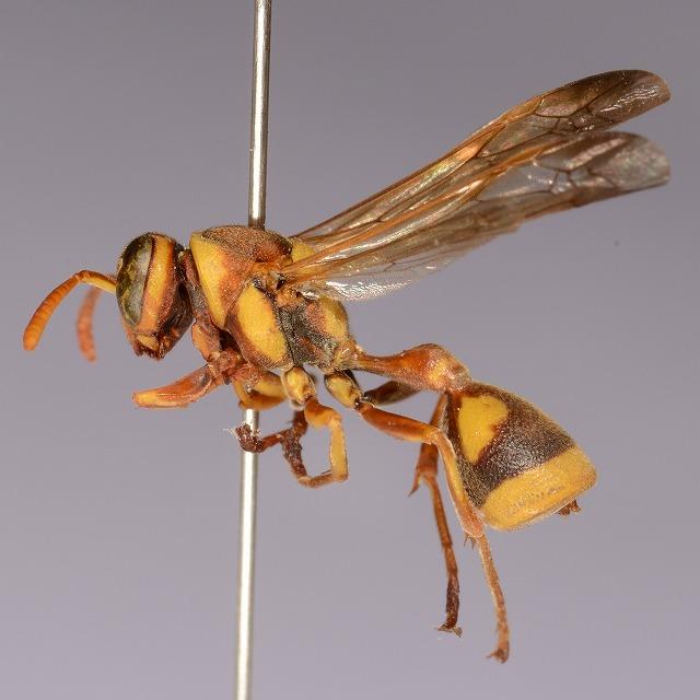 オキナワチビアシナガバチ