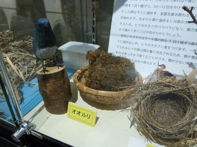 オオルリの巣