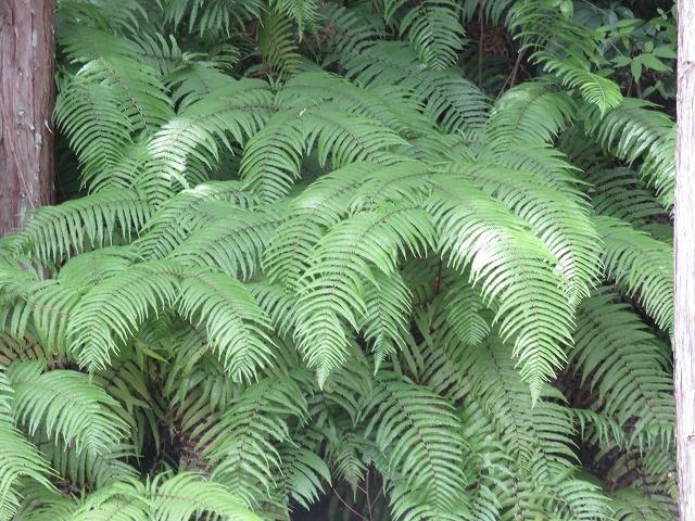 ウラジロの葉