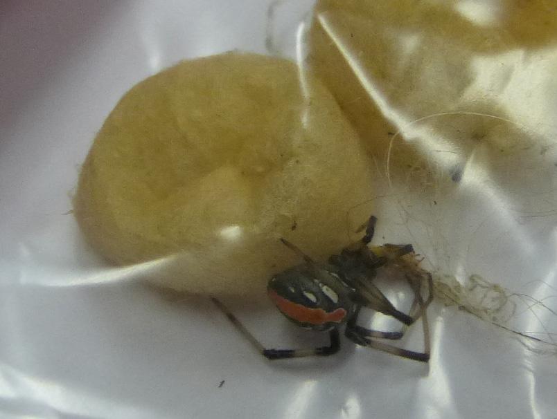 セワカゴケグモのオスと卵のう