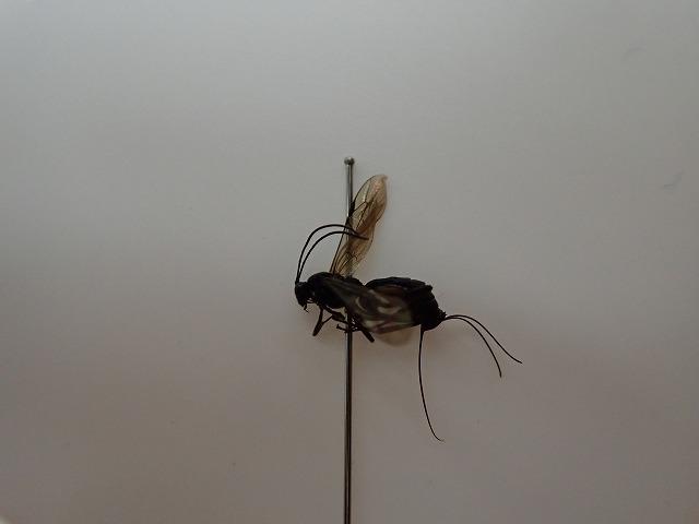 ヒメバチのなかま