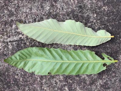 アベマキ、クヌギの葉