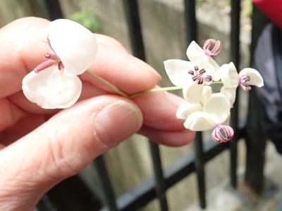 アケビの花の拡大.jpg