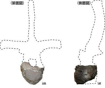 図1_今回発見された恐竜の胴椎化石.jpg
