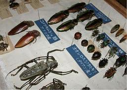 3.宝塚昆虫館で展示されていた外国産甲虫標本.JPG