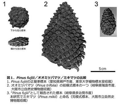 pinus fujiii_オオミツバマツ_ミキマツ.jpg